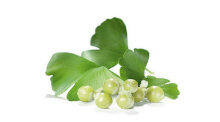 Ginkgo biloba - the composition of the Titan Ice